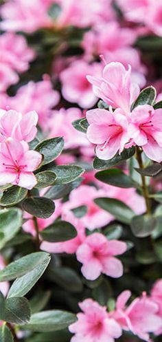 Little #pink leaves will breathe life into your #garden. #Agricola #flower…