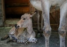 An illicit tryst between a zebra and a donkey has produced a love child like no other.        Ippo the zonkey was born on Saturday into the gap between two worlds. His dad is a brawny zebra rescued from a failing zoo. His mom is a sassy female from a breed of endangered donkeys in Amiata, Italy.