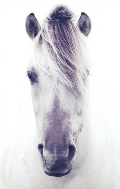 Norwegian Fjord horse.  Versatile, friendly, strong, people-loving and long living. The perfect viking horse <3