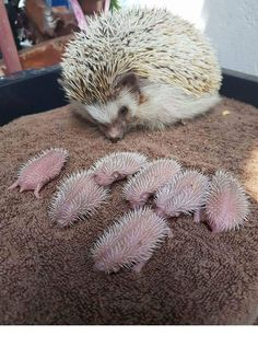 This hedgehog mom has the cutest expression as she watches her hoglets.
