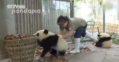 Pandas wreak havoc as keeper tries to clean their house