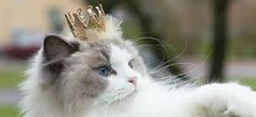Meet Aurora, the princess cat, one of the most beautiful kitties. She is already a super star on Instagram, soon will rule Pinterest.