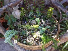 Suculent garden in old wicker chair