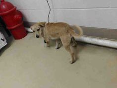 06/15/16--HOUSTON- -EXTREMELY HIGH KILL FACILITY -This DOG - ID#A460507 I am a male, tan Schnauzer - Miniature mix. The shelter staff think I am about 1 year and 9 months old. I have been at the shelter since Jun 02, 2016. This information was refreshed 51 minutes ago and may not represent all of the animals at the Harris County Public Health and Environmental Services.