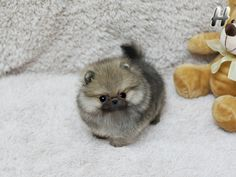 Teacup Pomeranian CUTIEEE ~Wolfie