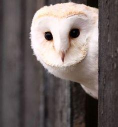 An albino barn owl--w/o the pink eyes