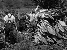 Mountaineers Cutting Tobacco, Jackson, Ky. (1940). Marion Post Wolcott, FSA/OWI