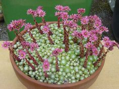 How to Grow and Care for Sempervivum arachnoideum - See more at: http://worldofsucculents.com/how-to-grow-sempervivum-arachnoideum