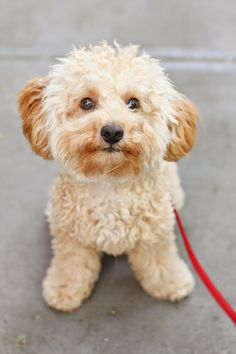 Teddy aka Theodore Fitzpatrick (Heitlinger): @collegeprepster 's precious toy poodle
