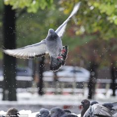 A real pigeon fancier! Urban wildlife photographer with a passion ...