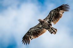 A juvenile Bald Eagle soars very closely overhead at a beach on Eagle Lake in North Western Ontario, Canada. Eagle Lake, Fine Art America, North Western, Birds, Wildlife Nature, Ontario, Nature Photography, Canada, Bird