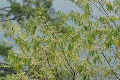 Litsesa cubeba (May Chang) essential oil - indicatd for Herpes Simples I and II.