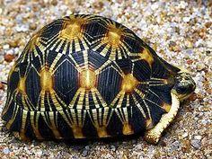 Die Strahlenschildkröte kommt nur auf der ostafrikanischen InselMadagaskar vor.