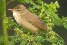 Bosrietzanger / Marsh Warbler