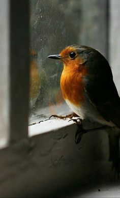 robin in the window
