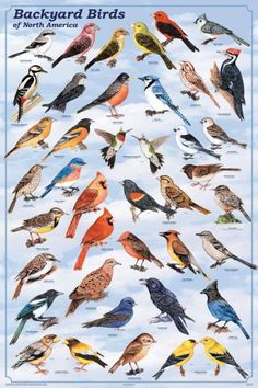 Backyard Birds of North America Poster 24x36 by Feenixx Publishing. An invaluable aid to your backyard birdwatching pleasure... This poster shows the most widely distributed birds of North America - t
