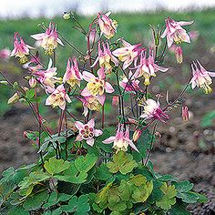 Aquilegia canadensis Pink Lanterns for front yard, Zone 5