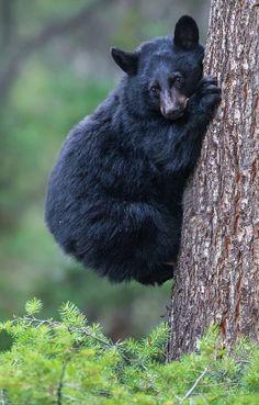 fuck-yeah-bears:  Tree Hugger by Mike Clark