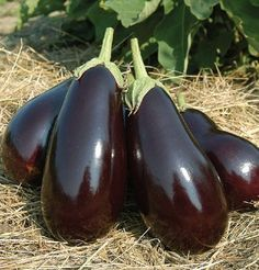 High-yielding, Galine Eggplant is a Black Bell type that produces very glossy, uniform, black fruits about Autumn Garden, Easy Garden, Spring Garden, Lawn And Garden, Eggplant Plant, Eggplant Seeds, Pumpkin Vegetable, Vegetable Garden, Gardening Vegetables