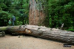 Cathedral Grove - 800 yr old old-growth forest near Parksville and Qualicum Beach on Vancouver Island Vancouver City, Vancouver Island, Sunshine Coast, Best Places To Travel, Places To See, Camping Places, Immigration Canada, Red River Gorge, Visit Canada