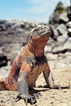 In the face of a changing climate many species must adapt or perish. Ecologists studying evolutionary responses to climate change forecast that cold-blooded tropical species are not as vulnerable to extinction as previously thought. The study, published in the British Ecological Society's Functional Ecology, considers how fast species can evolve and adapt to compensate for a rise in temperature.