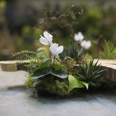 francoise weeks woodlands centerpiece -moss,cyclamen, ferns and succulents- would be great under a cloche.