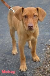 Vizsla Lab Mix Puppies