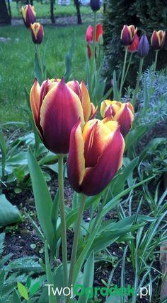 #tulipany #kwiaty #ogród #wiosna Disney, Plants, Plant, Disney Art, Planting, Planets