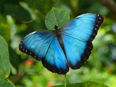 Blue Morpho Butterfly - Top view, outer wing is brown pattern resembling a giant eye!