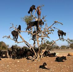 Ok, my milk goats are not this bad.  Things could be worse.  Tree goats in India.