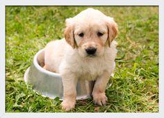 Quadro Decorativo Poster com Moldura e Vidro Pet Filhote Labrador 33x24cm 8c83dbdaee2ac