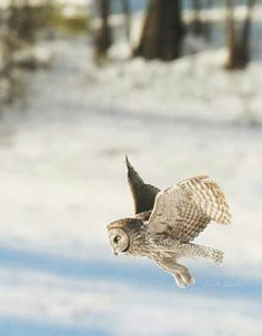 A Great Grey Owl hunting at sunset in Keene, New York, USA. Image thanks to Captured By Carrie Photography & Product Shop. More of these birds here --> http://owlpag.es/GreatGreyOwl