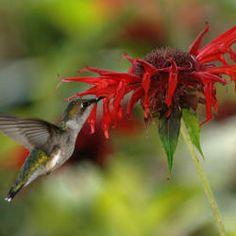 Ruby-throated hummingbird - female - feeding on Bee Balm . most common hummingbird in Missouri. Hummingbird Migration, Hummingbird Garden, Hummingbird Flowers, How To Attract Birds, How To Attract Hummingbirds, Attracting Hummingbirds, Pierre Decorative, Comment Planter, Ruby Throated Hummingbird