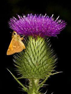 Mariposa con una flor de cardo.