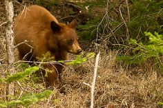 Black bear cub wandering though the woods Black Bear Cub, Bear Cubs, Wander, Woods, Wildlife, Animals, Animales, Animaux, Woodland Forest