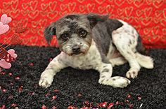 Lone Star Shih Tzu & Lhasa Apso Rescue Look at this gorgeous boy!   Donations needed to fix his legs!!  Little Bailey Barker was dumped at the Houston shelter with both front legs broken!