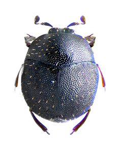 Abraeus bonzicus  (Histeridae)