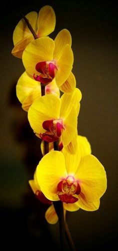 Smell - Yellow Orchid - Phalaenopsis 2 by ~joergens-mi on deviantART