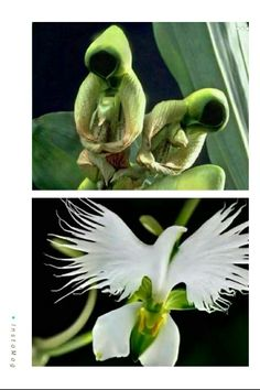 This is one of the orchid species, named flower of the Holy Spirit. It blooms once a year. Before blooming, it looks like praying saints, when the flower blooms, it looks like a flying dove. How amazing is Gods Creation!