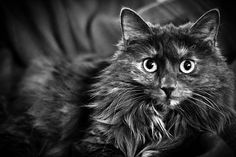 Skrållan, a cat of the Norweigan Forest Cat breed, is observing me from her favourite chair.