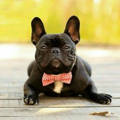 French Bulldog in a bow tie