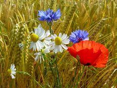 sommerblumen, mohnblumen, kornblumen, getreidefeld, gerste, gerstenfeld