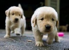 Baby goldens ~ Sooooooo Cute!!!!