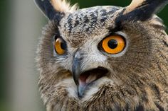 Google Image Result for http://www.turbarywoods.co.uk/gallery/michael_heald_up_close/images/owl_close_up.jpg