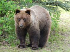 My parents called today and said they had a bear in their yard, so i buzzed down the street (I live all of a mile away) and lo and behold, a large grizzly bear right next to the back porch! I ve lived in North Pole for 32 years and have never seen a bear in the yard! He s beautiful, but I was just out back last week while visiting, got to remember there s other things in the woods behind the house other than mosquitoes! Kevin Thompson, North Pole