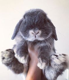 If you are looking for a furry companion which is not just cute, but very easy to have, then look no further than a pet rabbit. Cute Baby Bunnies, Cute Baby Animals, Animals And Pets, Funny Animals, Mini Lop Bunnies, Jing Y Jang, Tier Fotos, Hamsters, Cute Creatures
