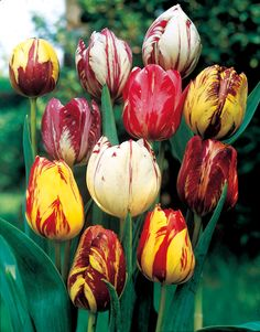 These are called rembrandt tulips and you can find them at www. Michiganbulb.com