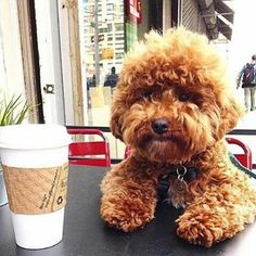 Image viaOh my god, it's a perfect mix between my puppies! a maltese and a poodle. yes it is okay to cryImage viaMaltese Poodle = Maltipoo cute animals swe Cockapoo Puppies, Maltipoo, Cute Puppies, Cute Dogs, Dogs And Puppies, Doggies, Goldendoodles, Labradoodles, Cavapoo