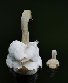 Mama and baby swan ...                                       I Love You More Mom!