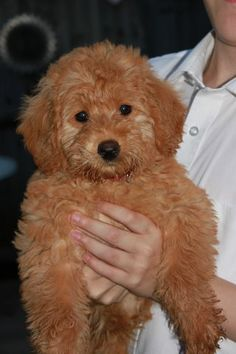 Heidi is the most beautiful 10 week old Labrador cross Poodlepup ever. Sadly Heidi has been born with a heart defect and needs an urgent operation. Heidi has Four Legged, Labrador, Adoption, Teddy Bear, Babies, Future, Google Search, Animals, Image